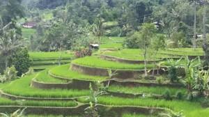 cropped-rice-fields6.jpg